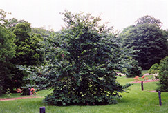 American Beech (Fagus grandifolia) at Martin's Home and Garden