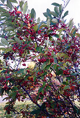 Red Chokeberry (Aronia arbutifolia) at Martin's Home and Garden
