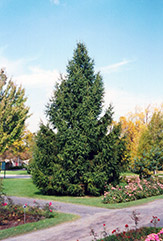 Norway Spruce (Picea abies) at Martin's Home and Garden