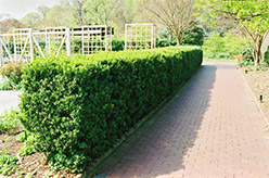Common Boxwood (Buxus sempervirens) at Martin's Home & Garden