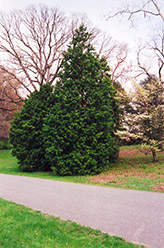 Hinoki Falsecypress (Chamaecyparis obtusa) at Martin's Home & Garden