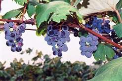Concord Grape (Vitis 'Concord') at Martin's Home & Garden