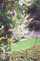 Silver Lace Vine (Polygonum aubertii) at Martin's Home and Garden
