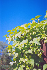 Hops (Humulus lupulus) at Martin's Home and Garden
