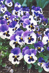 Baby Bingo Pansy (Viola 'Baby Bingo') at Martin's Home and Garden
