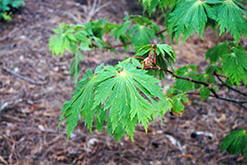Fullmoon Maple (Acer japonicum) at Martin's Home & Garden