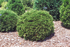 Hetz Midget Arborvitae (Thuja occidentalis 'Hetz Midget') at Martin's Home and Garden