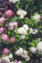Shirobana Spirea (Spiraea japonica 'Shirobana') at Martin's Home and Garden