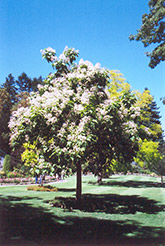 Southern Catalpa (Catalpa bignonioides) at Martin's Home & Garden