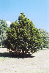 American Hornbeam (Carpinus caroliniana) at Martin's Home and Garden