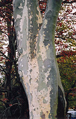 London Planetree (Platanus x acerifolia) at Martin's Home and Garden