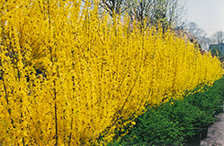 Lynwood Gold Forsythia (Forsythia x intermedia 'Lynwood Gold') at Martin's Home & Garden