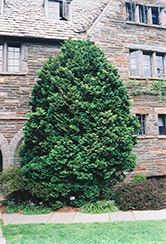 Compact Hinoki Falsecypress (Chamaecyparis obtusa 'Compacta') at Martin's Home and Garden