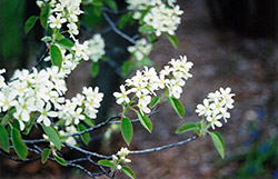 Common Serviceberry (Amelanchier oblongifolia) at Martin's Home & Garden