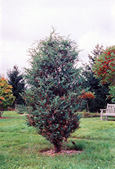 Chinese Juniper (Juniperus chinensis) at Martin's Home and Garden