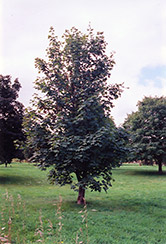 Sycamore Maple (Acer pseudoplatanus) at Martin's Home and Garden