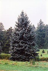 Hoopsii Blue Spruce (Picea pungens 'Hoopsii') at Martin's Home & Garden