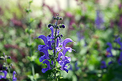 Rhapsody In Blue Meadow Sage (Salvia x superba 'Rhapsody In Blue') at Martin's Home and Garden