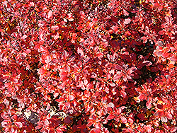Pygmy Ruby Barberry (Berberis thunbergii 'Pygruzam') at Martin's Home & Garden