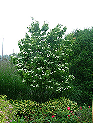 Galilean Chinese Dogwood (Cornus kousa 'Galzam') at Martin's Home & Garden