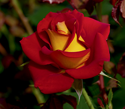 Ketchup And Mustard Rose (Rosa 'WEKzazette') at Martin's Home & Garden