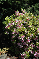 Pink Beauty Azalea (Rhododendron 'Pink Beauty') at Martin's Home and Garden