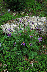 Pasqueflower (Pulsatilla vulgaris) at Martin's Home and Garden