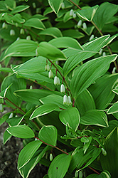 Variegated Solomon's Seal (Polygonatum odoratum 'Variegatum') at Martin's Home and Garden