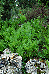 Ostrich Fern (Matteuccia strutheriopteris) at Martin's Home and Garden