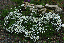 Candytuft (Iberis sempervirens) at Martin's Home & Garden