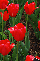 Hollandia Tulip (Tulipa 'Hollandia') at Martin's Home & Garden