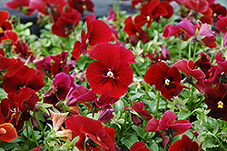 Penny Red Pansy (Viola cornuta 'Penny Red') at Martin's Home & Garden