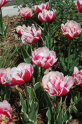 Top Lips Tulip (Tulipa 'Top Lips') at Martin's Home and Garden