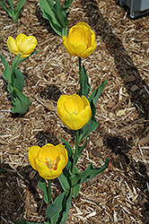 Bellona Tulip (Tulipa 'Bellona') at Martin's Home and Garden