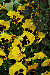 Majestic Giant Yellow Pansy (Viola x wittrockiana 'Majestic Giant Yellow') at Martin's Home & Garden
