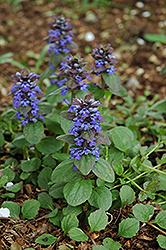 Caitlin's Giant Bugleweed (Ajuga reptans 'Caitlin's Giant') at Martin's Home & Garden