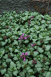 Red Nancy Spotted Dead Nettle (Lamium maculatum 'Red Nancy') at Martin's Home & Garden
