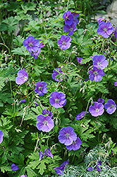 Johnson's Blue Cranesbill (Geranium 'Johnson's Blue') at Martin's Home and Garden