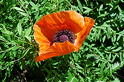 Oriental Poppy (Papaver orientale) at Martin's Home & Garden