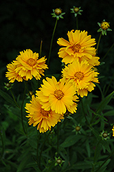 Early Sunrise Tickseed (Coreopsis 'Early Sunrise') at Martin's Home and Garden