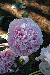 Shirley Temple Peony (Paeonia 'Shirley Temple') at Martin's Home and Garden