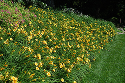 Happy Ever Appster® Happy Returns Daylily (Hemerocallis 'Happy Returns') at Martin's Home & Garden