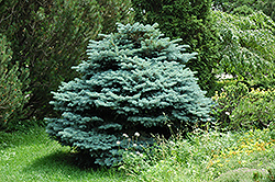 Globe Blue Spruce (Picea pungens 'Globosa') at Martin's Home & Garden