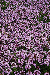 Red Creeping Thyme (Thymus praecox 'Coccineus') at Martin's Home & Garden