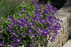 Blue Clips Bellflower (Campanula carpatica 'Blue Clips') at Martin's Home and Garden