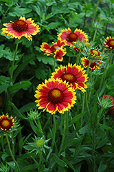 Goblin Blanket Flower (Gaillardia x grandiflora 'Goblin') at Martin's Home and Garden