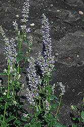 Anise Hyssop (Agastache foeniculum) at Martin's Home and Garden