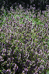 Lemon Thyme (Thymus x citriodorus) at Martin's Home and Garden