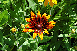 Rustic Colors Coneflower (Rudbeckia hirta 'Rustic Colors') at Martin's Home and Garden