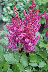 Visions Astilbe (Astilbe chinensis 'Visions') at Martin's Home & Garden